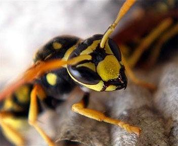 Punta norte: Las avispas son un contrapeso para las cucarachas