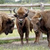 Bisontes europeos en un paraje natural