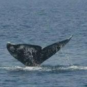 Una ballena gris cerca de Barcelona
