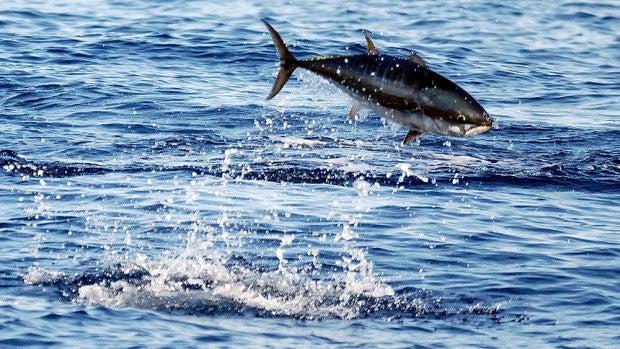 Estudio sobre el atún rojo