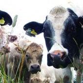 Las vacas mejor mimadas