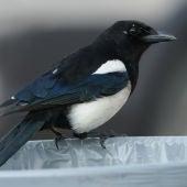 La urraca, un ave de ciudad