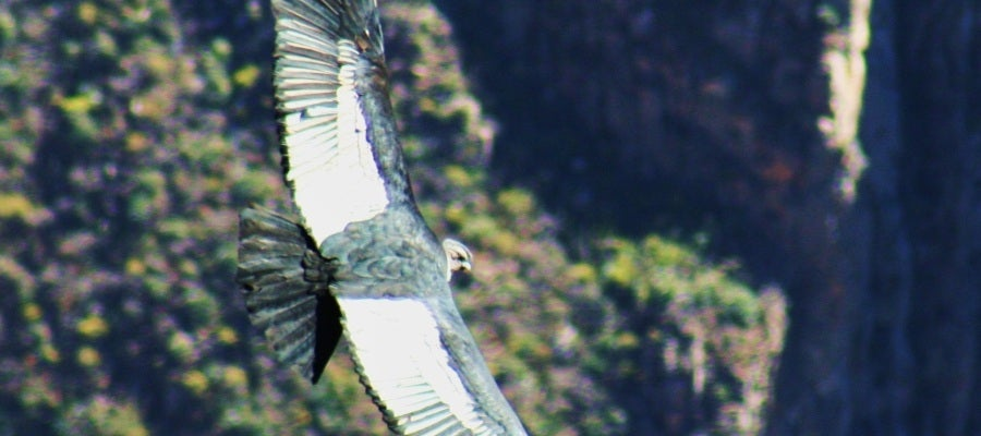 Un cóndor vuela en el valle del Colca