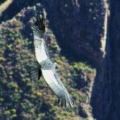 Un cóndor vuela en el valle del Colca. Foto: Marino Holgado