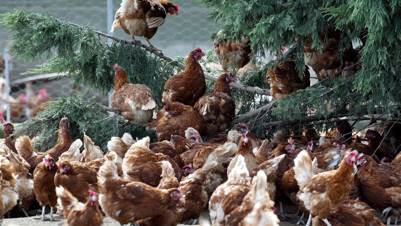 Alcalde de Cangas: No, no se va a cerrar un gallinero porque moleste a los turistas