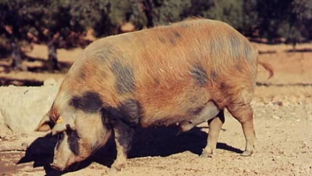 Investigarán con el cerdo ibérico para buscar las claves para combatir la gravisima epidemia de obesidad y diabetes en EEUU