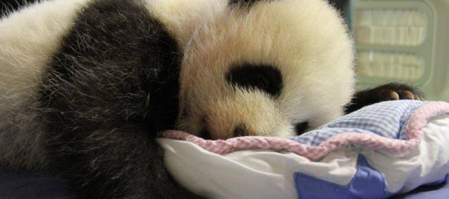 Cría de oso panda del Zoo de Madrid