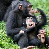 Los chimpancés muestran diferencias de género en su comportamiento desde la infancia.