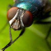 Mosca insecto