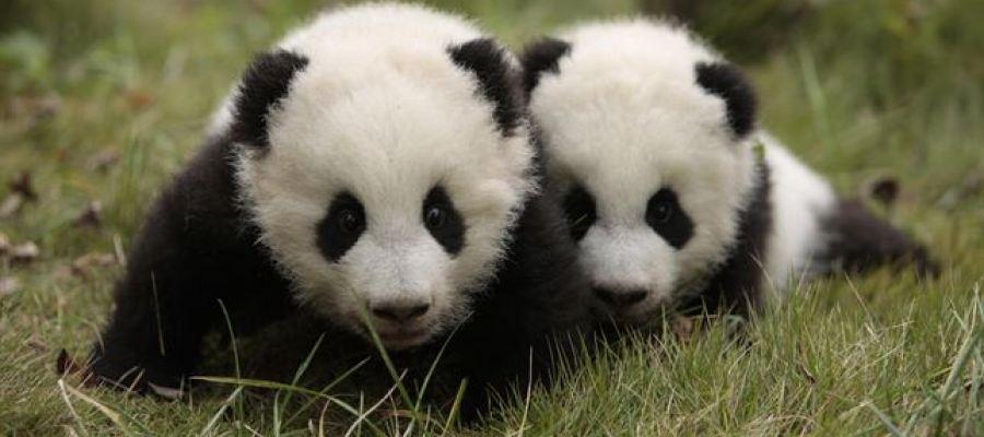 El oso panda, un animal en peligro de extinción