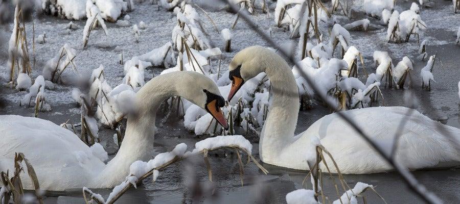 Dos cisnes nadan en un lago helado