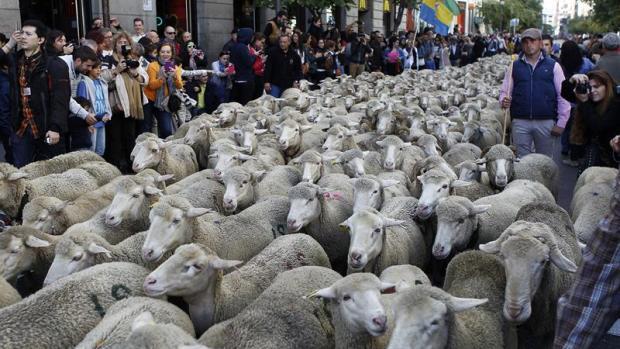 Las ovejas merinas cruzan Madrid en la XXII fiesta de la trashumancia