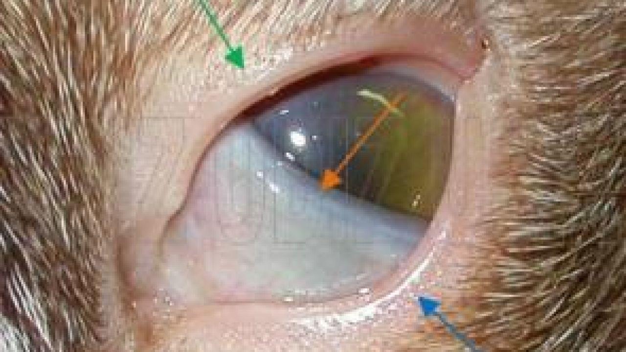 gatos enfermedades ojos