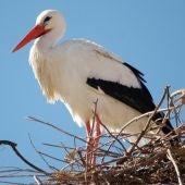 Imagen de la cigüeña blanca