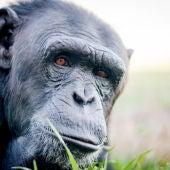 Uno de los chimpancés rehabilitados en la Fundación Mona
