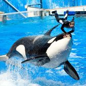 Una orca de SeaWorld durante un espectáculo