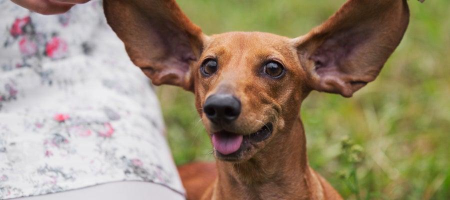 Perro con orejas grandes