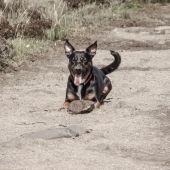 Perro jugando con una piedra