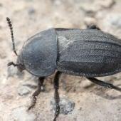 Escarabajo carroñero