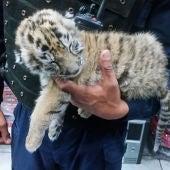 Cachorro de tigre rescatado de la ciudad de México