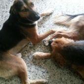 Bella y Edward, versión perro