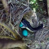 Una serpiente se come los huevos de unos polluelos a punto de nacer