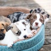 Cachorros de perro