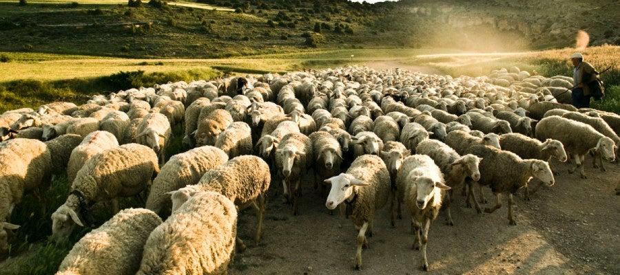 Imagen de un rebaño de ovejas