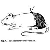 Rata con pantalones
