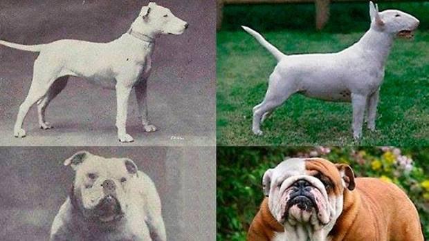 La dramática verdad que se esconde tras el Bulldog francés y otras razas