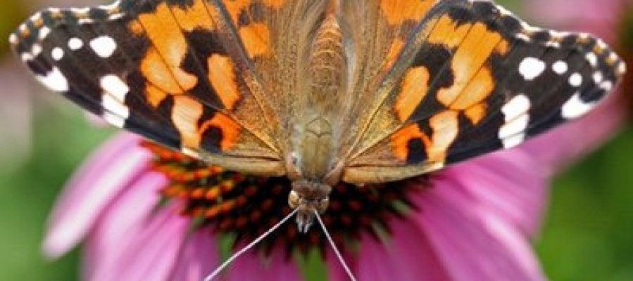 La mariposa 'vanesa de los cardos'