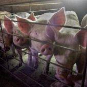 Cerdos en una granja