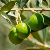 Imagen de varias aceitunas en las ramas de un olivo