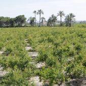 Granados en una finca agrícola de Elche.