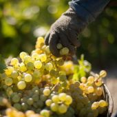 Una cosecha de uvas