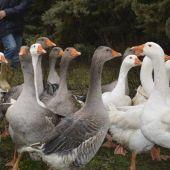 Francia ordena el sacrificio masivo de ocas y patos por un brote de gripe aviar
