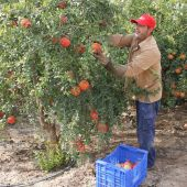 Un agricultor de Elche recolectando granada mollar
