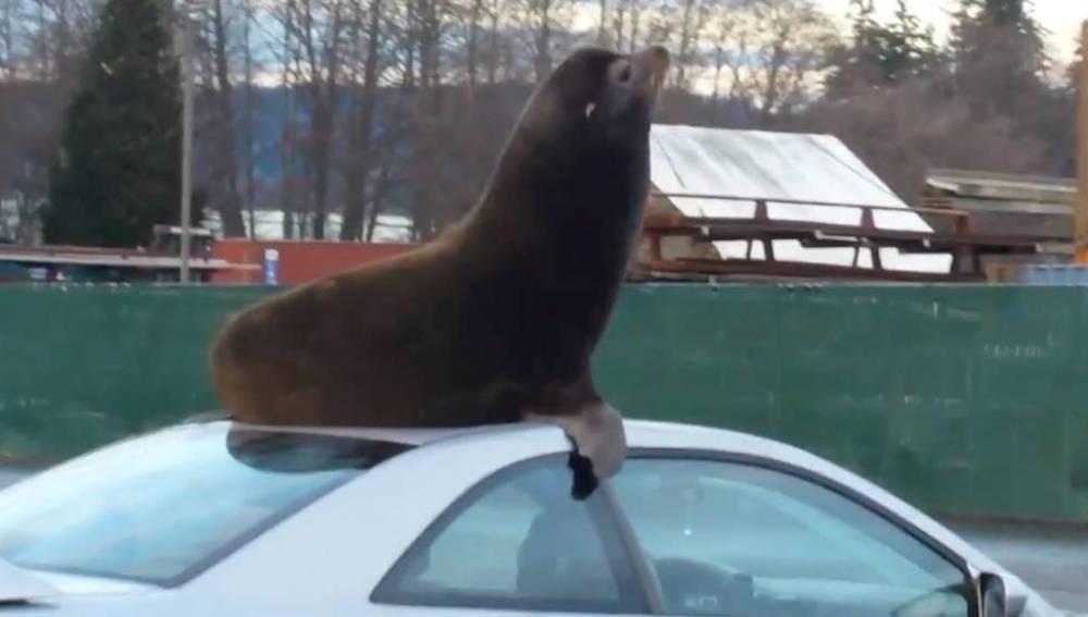 León marino durmiendo en un coche