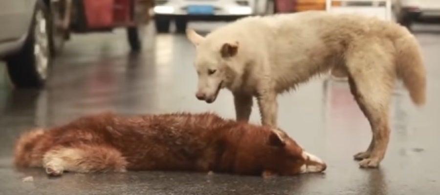 El perro, conmocionado por la pérdida de su amigo
