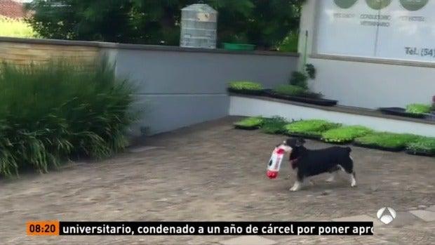 Pituco, el perro que triunfa en Internet por ir él solo a recoger su comida a la tienda de mascotas