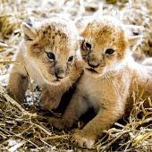 Dos cachorros de león (03-07-2017)