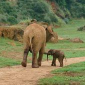 Imagen de un elefante africano junto a su cría en el Parque de la Naturaleza de Cabárceno