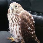 Un halcón busca refugio en un taxi por 'miedo' al huracán 'Harvey'