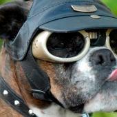 Doggles, gafas para perros