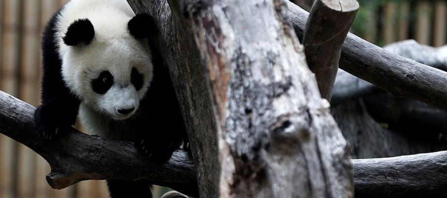 El zoológico de Madrid celebra el primer cumpleaños de la panda femenina 'Chulina' (10-09-2017)