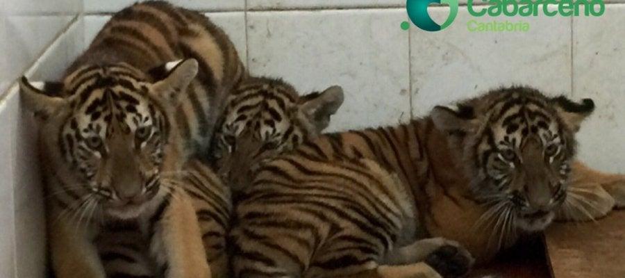 Cabárceno incorpora otros tres tigres de Bengala al espacio dedicado a esta especie
