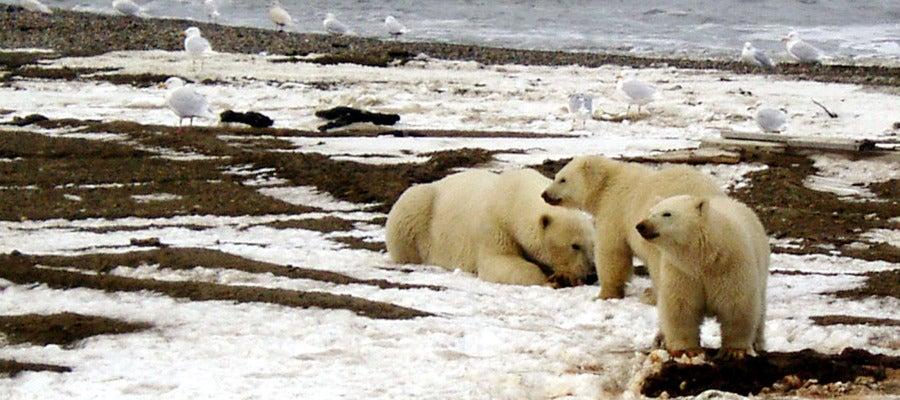 Osos polares en la en el Refugio de Alaska