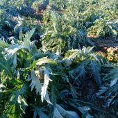 Alcachofas con escarcha en un cultivo del Camp d'Elx.