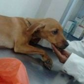 Perrita en veterinario