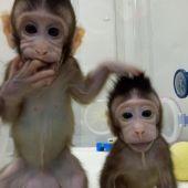 Zhong Zhong y Hua Hua, los dos monos clonados